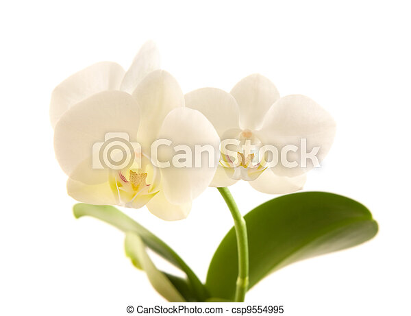 white phalaenopsis orchid stem; isolated on white - csp9554995