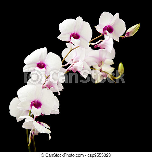 beautiful white orchid with dark purple centers; isolated on black background; - csp9555023
