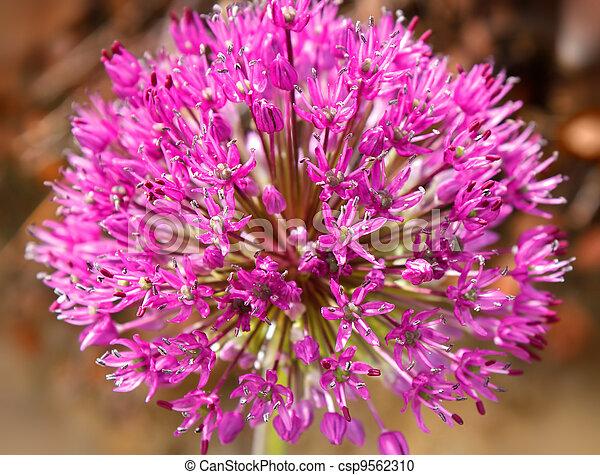 closeup of purple Allium flower  - csp9562310