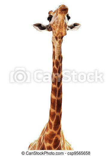 Giraffe head isolate on white - csp9565658