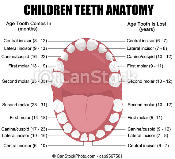 Anatomy of children teeth - csp9567501
