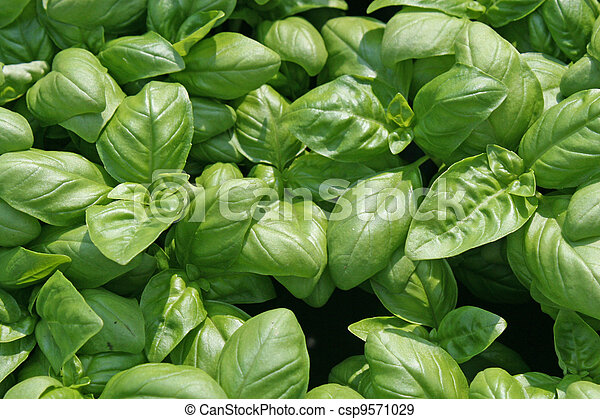 fragrant basil leaves for flavour in cooking - csp9571029