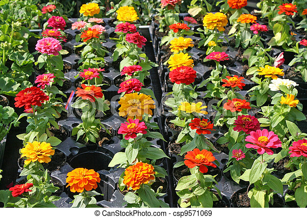 chrysanthemums for sale in the shop of a nurseryman florist - csp9571069