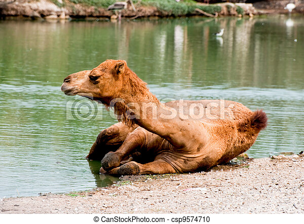 The Camel soak on the water - csp9574710