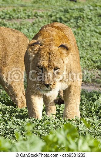 lioness - csp9581233