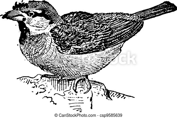 Sparrow or Passer sp., vintage engraving - csp9585639