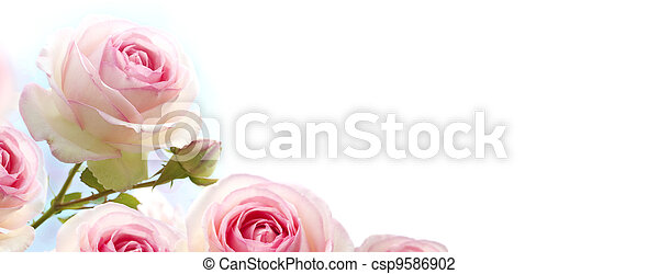 rosebush flowers, pink roses over a gradient blue to white background, horizontal banner - csp9586902