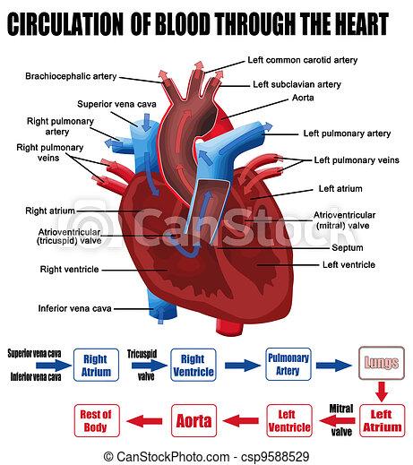 Circulation of blood through the heart - csp9588529