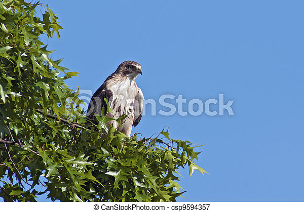 Red-tailed Hawk - csp9594357
