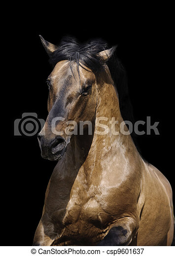 stallion on black - csp9601637