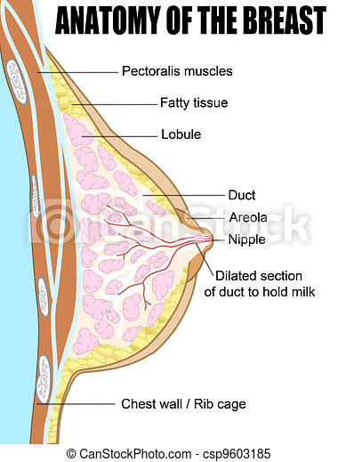 Anatomy of the breast - csp9603185