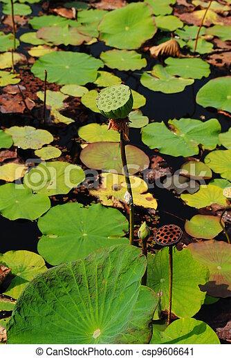 Lotus seeds Species flower - csp9606641