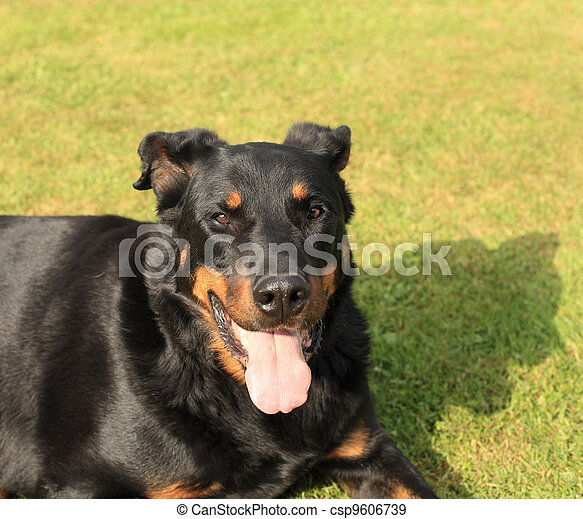 portrait of a purebred french sheepdog beauceron  - csp9606739