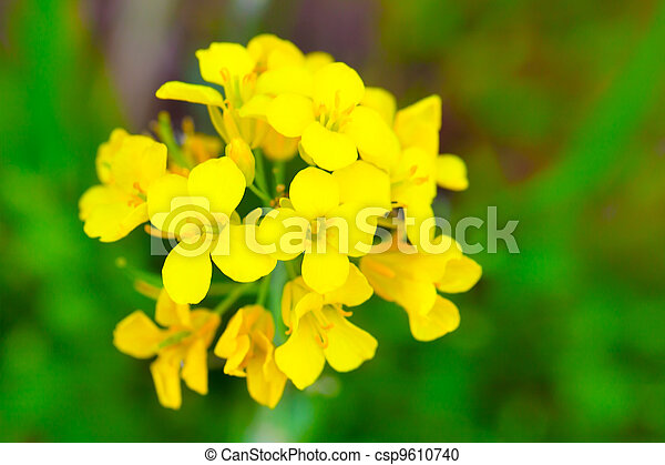 Colza (Brassica rapa). Rape flower on field - csp9610740