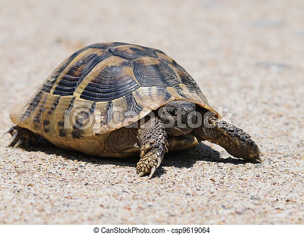 turtle on sand,  testudo hermanni - csp9619064