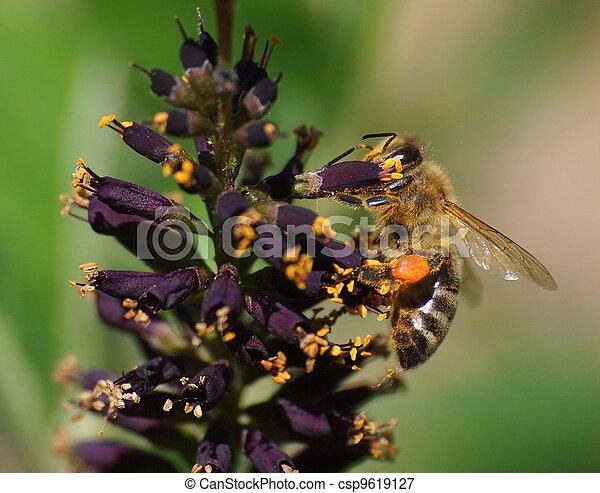 Bee on acacia flowers - csp9619127