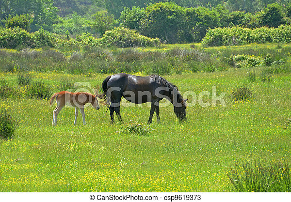 black female horse with colt pasturing in flowery meadow - csp9619373