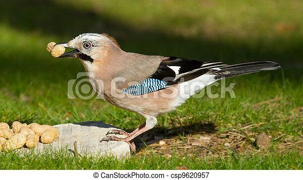 Um, jay, pássaro, (Garrulus, glandarius) - csp9620957