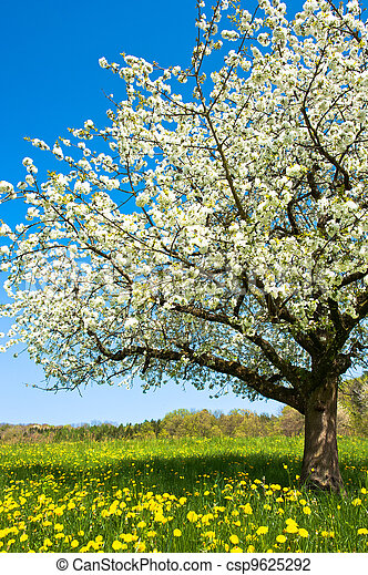 Blossoming tree in spring on rural meadow - csp9625292