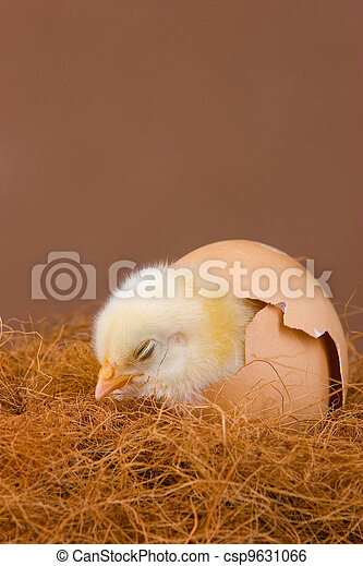 Hatched chick - csp9631066