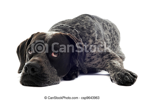 tired  shorthaired pointer - csp9643963