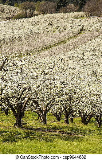 Apple orchards in spring - csp9644882