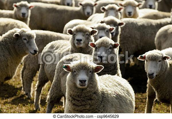 Travel New Zealand - Sheep Farm - csp9645629