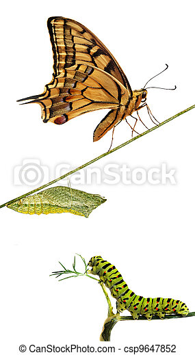 Close up of caterpillar , pupae, and swallowtail butterfly - csp9647852