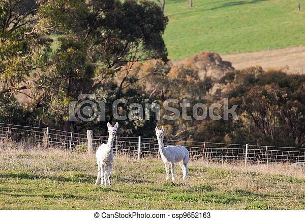 Two white alpacas. NSW. Australia. - csp9652163