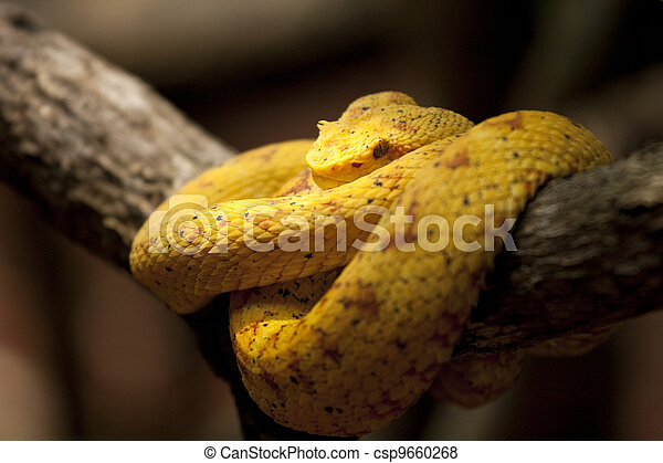 Eyelash viper in Costa Rica - csp9660268