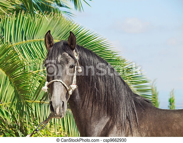 portrait of purebred Andalusian grey  stallion at palm leaves ba - csp9662930