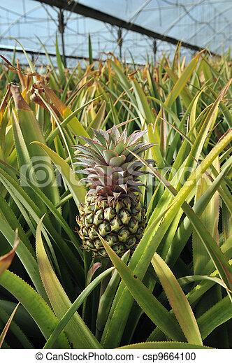 photographies de arbre ananas ananas exotique fruit csp9664100 recherchez des photos des. Black Bedroom Furniture Sets. Home Design Ideas