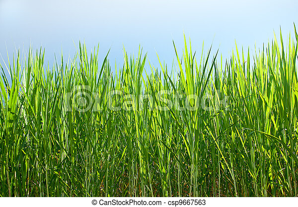 how to produce sugar from sugarcane