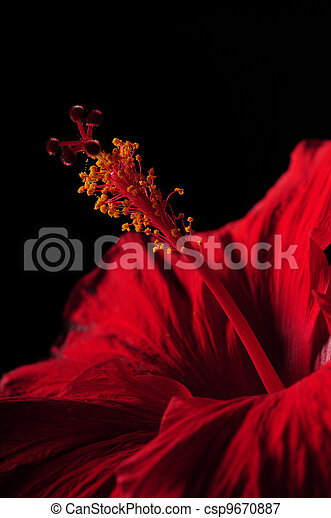 Close up of red hibiscus flower and stamen  - csp9670887