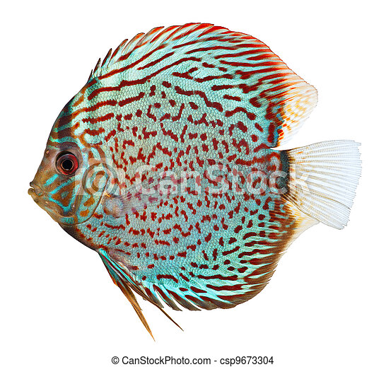 Blue Discus fish - csp9673304