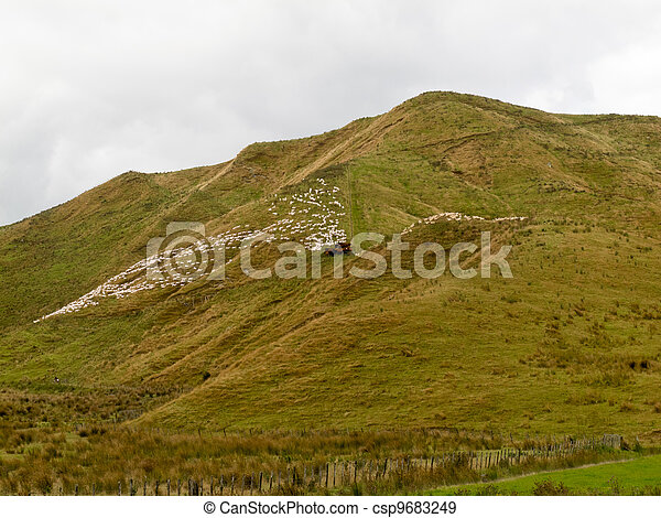 Large flock of herded sheep on a steep hillside - csp9683249