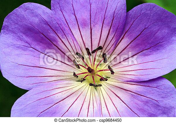 Perennial Geranium Rozanne - csp9684450