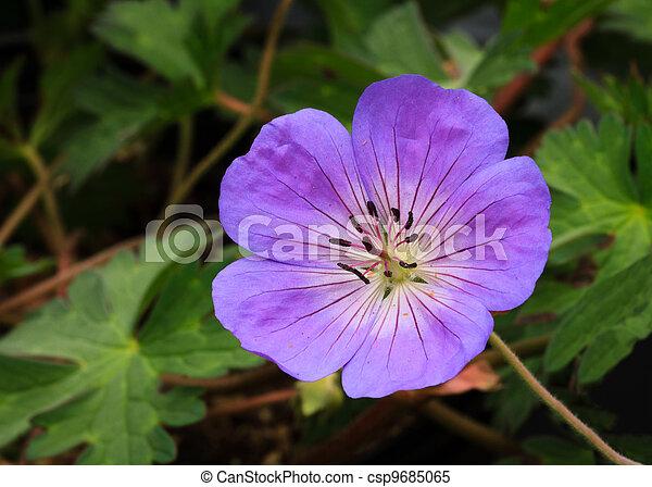 Perennial Geranium Rozanne - csp9685065