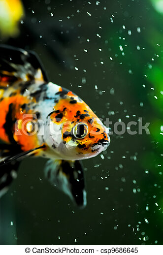 Stock images of american shubunkin close up in a fish tank for American koi fish