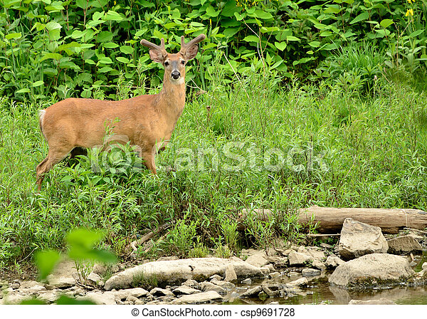 Whitetail Deer Buck - csp9691728