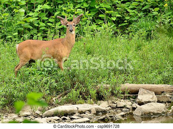 Whitetail Deer Buck - csp9691728