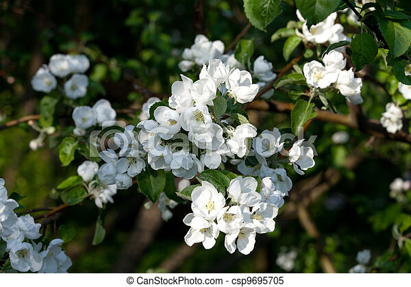 Flowers Blooming Apple Tree - csp9695705
