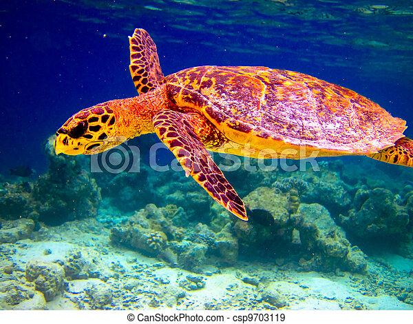 Hawksbill Turtle swiming like flying - csp9703119