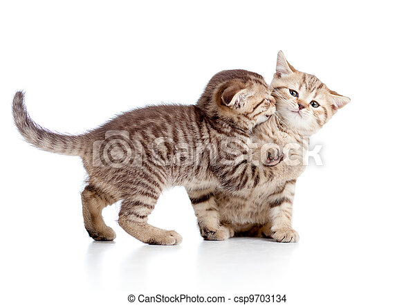 two funny playful small kittens playing with each other - csp9703134