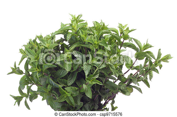 Fresh green mint leaf - csp9715576
