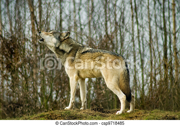 Gray wolf howling. Stock Photo - csp9718485