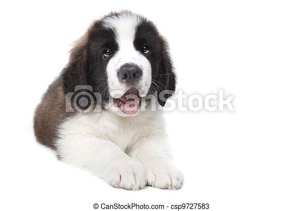Cute Saint Bernard Purebred Puppy  - csp9727583