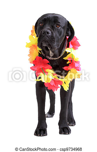 Cane Corso purebred dog - csp9734968