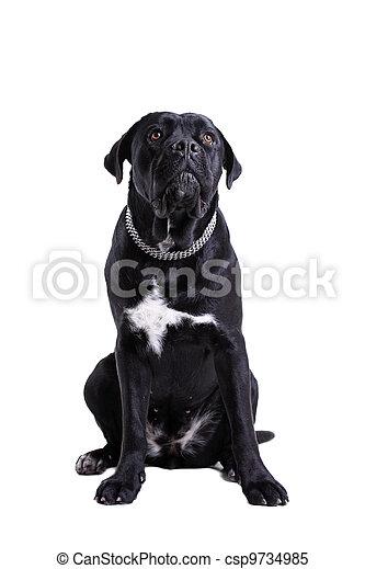Cane Corso purebred dog - csp9734985
