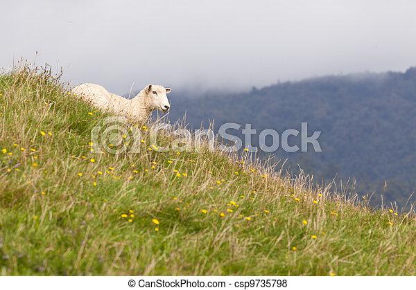 Sheep resting on rich fertile pasture hillside - csp9735798